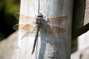 Common Hawker Dragonfly (female)