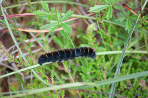 Black haired caterpillar with orange stripes