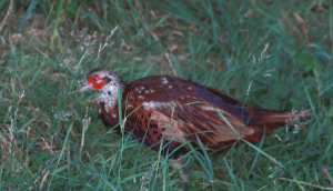 Red/Willow grouse