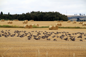 Flock of Pink-footed geese