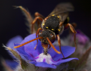 Is this bee Nomada flava