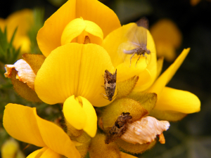 Micro moths on gorse flowers