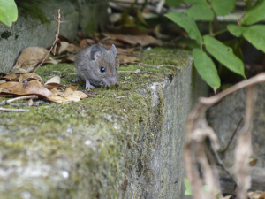 mouse in the garden