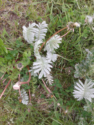 Silverweed?