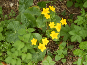 Appears to be a celandine but with 5 petals?