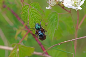 Garden chafers paired