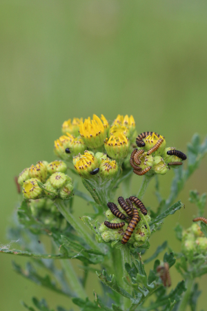 Ragwort & cinnebarmoth caterpillars& black beetle