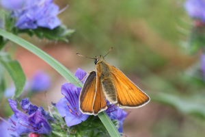 small skipper??