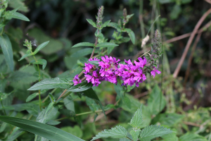 loosestrife?