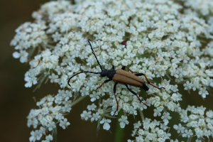 Female Red longhorn beetle