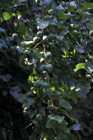Possibly type of wild plum