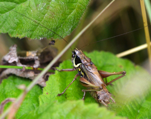 2014_08_06_wed_081b_roesels_bush_cricket