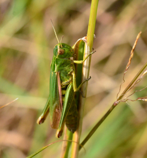 Common Green Grasshopper  Omocestus viridulus