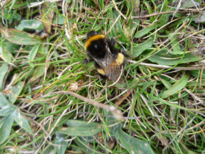 ?White tailed bumble bee