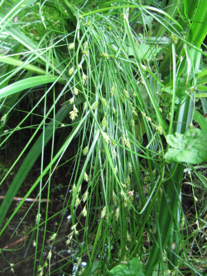 Remote sedge, Carex remota
