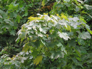 Norway maple, Acer platanoides