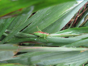 Short-winged conehead?