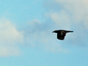 Carrion Crow at Cissbury Ring, West Sussex