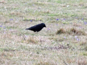Jackdaw at Cissbury Ring, West Sussex