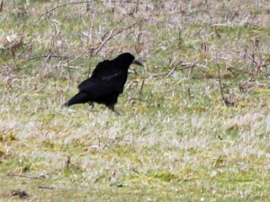 Rook at Cissbury Ring, West Sussex