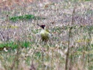 Green Woodpecker at Cissbury Ring, West Sussex