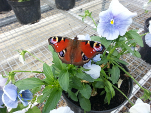 Peacock butterfly on a pansy