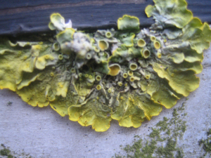Lichens of Liverpool