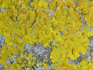 yellow lichen found on bark  of an Acer