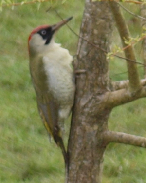 Female Green Woodpecker