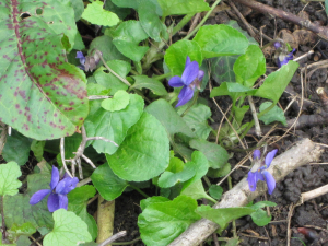 Early Dog-Violet