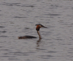Lonely Great Crested Grebe
