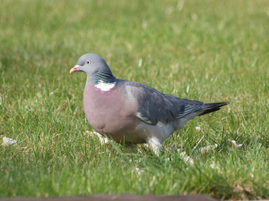 Limpy, the Woodpigeon