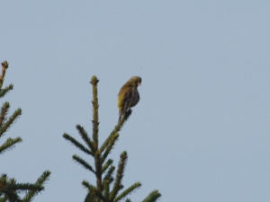 Possible Greenfinch