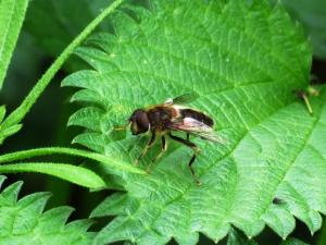 unidentified hoverfly?