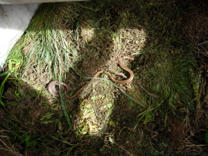 Pair of slow worms spotted at Goring Gap West Sussex