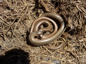 Slow-worms - West Sussex