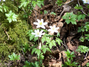 Wood Anemone or Windflower