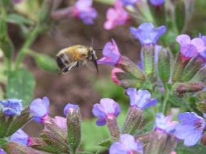 Hairy-footed Flower Bee