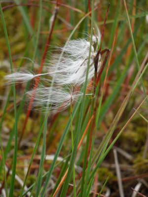 possible common cottongrass