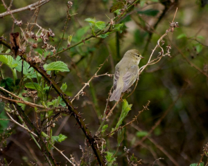 Willow Warbler? In the Atlantic Oakwoods of Sunart