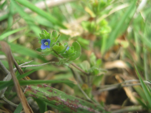 Wall Speedwell (Veronica arvensis)