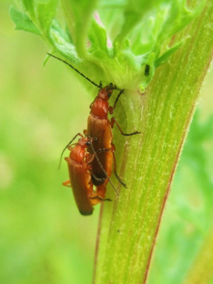 Common Red Soldier Beetles (Rhagonycha fulva)