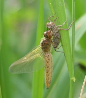 Scarce chaser - young