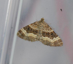 Which Carpet Moth?