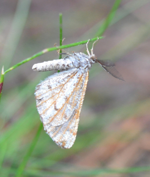 Male bordered white