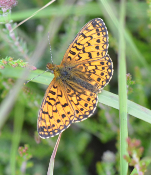 Small pearl bprdered fritillary