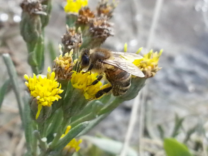 Possible Sea Aster Mining Bee