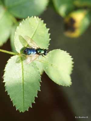 Blue and green fly