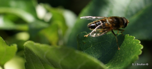 type of hoverfly