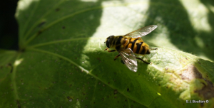 large hoverfly type ??